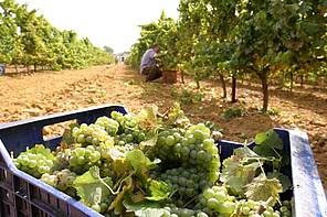 Recogida de uva
